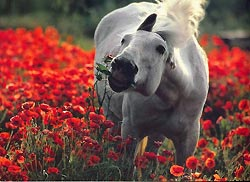 Horse eating poppies